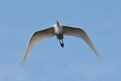 Great egret (Ardea alba) (kalakeli) Tags: silberreiher greategret ardeaalba reiher egrets birds vögel rieselfelder oktober october 2016 birdinflight flyingbirds flyingegret rieselfeldermünster