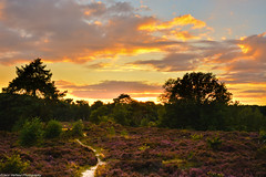 Firing skies over blooming heather (Jaco Verheul) Tags: serene heather flower plant bloom blooming sunset sunny cloud clouds cloudporn tree path sand fir birch bush sky sun nikon d7100 nikond7100 1685mm jacoverheul bergenopzoom thenetherlands calm landscape outdoor orange red blue goldenhour golden hour nature ngc harmony peace peaceful panorama panoramic holland purple