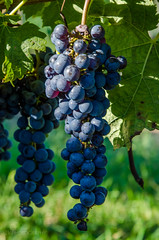 at the winery (lvphotos!) Tags: winery grapes fruits summer plant fall season