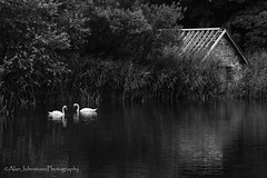 Companions (ajp~) Tags: mireloch stabbs scottishborders scotland muteswan birds wildlife noture ornithology trees boathouse ruin loch water reflections mono monochrome blackandwhite bw canon 6d canon70300mmf456l alanjohnstone