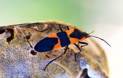 Large Milkweed Bug - male (imageClear) Tags: bug insect beauty color toxin toxic nature milkweedbug sheboygan wisconsin autumn october lakefront aperture nikon d500 105mm imageclear flickr photostream