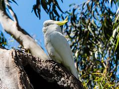 P1150538 (Pursuedbybear) Tags: sydney sydney2016 royalbotanicgardens birds cockatoo sulphurcrestedcockatoo cacatuagalerita