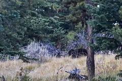 Do you see the black bear? (f/Kat) Tags: gtnp grandtetonnationalpark wyoming autumn fall aspen reflections