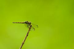 Short break from flying (malc1702) Tags: dragonfly dragonflyresting dragonflyonatwig insects garden bokeh nature macro closeup nikond7100 tamron150600 fantasticnature wonderworld