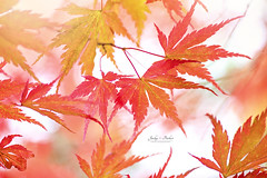 F A L L (Jacky Parker Floral Art) Tags: foliage leaves red orange japanesemaple tree acerpalmatum highkey autumn fall colors colours horizontal format closeup macro vibrant freshness fragility beauty nature