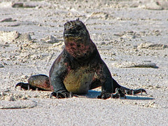 marine iguana at gardner bay - espaola island, galpagos 2 (Russell Scott Images) Tags: colourful marineiguanaamblyrhynchuscristatussspvenustissimus beach espaolaisland islaespaola hoodisland galpagos equator gardnerbay sand