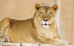 Hey. What's up? (Amro Afifi) Tags: lioness wild scary amroafifi amro animals wow strong