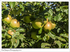 Apple Tree (Paul Simpson Photography) Tags: apples fruit crop nature september2016 sonya77 paulsimpsonphotography photoof photosof imageof imagesof leaves green plant naturalworld orchard appletree appleorchard