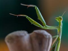 Mantis religiosa 1 (Jeaunse23) Tags: mantis preyingmantis mantisreligiosa macro insects france