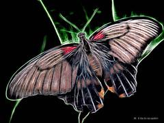 Electric_Butterfly-04 (jamesclinich) Tags: olympus omd em10 jamesclinich corel paintshoppro topaz denoise adjust clarity detail glow handheld availablelight butterfly lubbock lubbocktx texas tx insects sciencespectrum