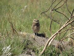Athene cunicularia (carol_peroni) Tags: coruja ave bird owl