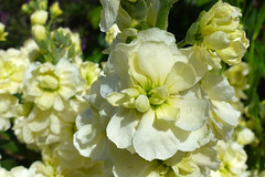 Stock (Matthiola incana) (dgardenia) Tags: rose roses flower macro nature garden spring ranunculus wisteria pottedplant lily lilies lilac tree lavender stock