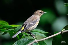 Yellow-rumped Warbler (jt893x) Tags: 150600mm bird d500 jt893x nikon nikond500 setophagacoronata sigma sigma150600mmf563dgoshsms songbird warbler yellowrumpedwarbler specanimal