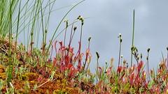 Drosera anglica (Droseraceae) (Nurmes, 20160710) (RainoL) Tags: 2016 201607 20160710 carnivore carnivorous clr drosera droseraanglica droseraceae fin finland flower flowers fz200 geo:lat=6369828000 geo:lon=2964395900 geotagged july nurmes pitklehtikihokki plant plants pohjoiskarjala summer white