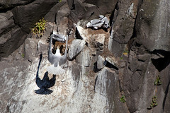 Shadow Flight _4959 (hkoons) Tags: latrabjargcliffs westfiords westfjords iceland latrabjarg birds cliff feathers fiord fjord flight fly island nest nests north peninsula seabirds wings