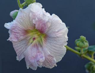 Les rides florales The floral wrinkles