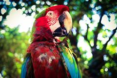 (Harv P.) Tags: parrot red panasonic lumix gx7 20mm 20mm17 bird