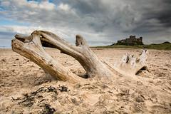 Driftwood (213hardy) Tags: northumberland castle bamburghcastle bamburg driftwood tree wood beach sand seaweed sky storm landscape seascape seaside clouds