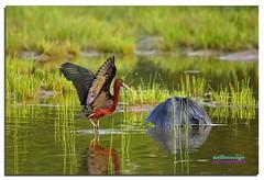WCC_3946- Glossy Ibis and a fishing Black Heron (biohazard_) Tags: avian dam lake waters cormorant africa safari africansafari bird animals nature wildlife heron blackheron ibis glossyibis wings flying flyinbird longbeak gaborone botswana