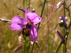 Arthopodium fimbriatus, Nodding Chocolate Lily with native bee collecting pollen