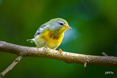 Northern Parula (jt893x) Tags: 150600mm bird d500 jt893x nikon nikond500 northernparula parula setophagaamericana sigma sigma150600mmf563dgoshsms songbird warbler specanimal