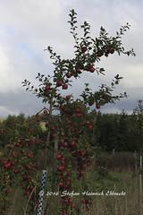 Obstwiese-8 (Stefan Heinrich Ehbrecht) Tags: apfelbaum florina apple apfel pomme manzana arbol appletree obstwiese orchard