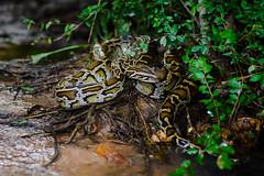 Python bivittatus, Burmese python - Kaeng Krachan District, Phetchaburi (Rushen!) Tags: pythonbivittatus burmesepython phetchaburi python reptile reptilia snake d800 nikon tamron tamron90mm 90mm snakes reptiles thailand wildlife wild kaengkrachandistrict