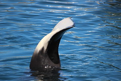 IMG_6830 (Bebelouga) Tags: orque marineland killerwhale orca