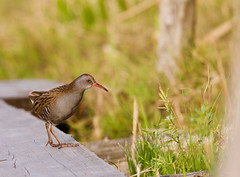 Luhtakana (ville koponen) Tags: ruohikko luonnonsuojelualue vanhankaupunginlahti luhtakana linnut