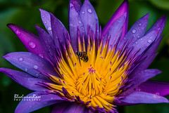 Water Lily & the Bee (BlueLunarRose) Tags: waterlily lily flower purple bee bug insect macro closeup nature drops dewdrops raindrops yellow petals sal1855 sonyalphadslra200 bluelunarrose ngc