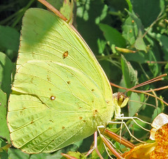 Cloudless Sulphur, Phoebis sennae, Rea Farm, Cape May, NJ (Seth Ausubel) Tags: butterfly pieridae