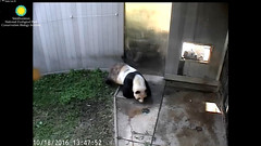 2016_10-18c (gkoo19681) Tags: beibei tiantian missingpapa searching sayinghello adorable toocute lovinglooks ccncby nationalzoo