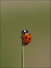 7-Spot Ladybird  - Explore (Grasping-air) Tags: