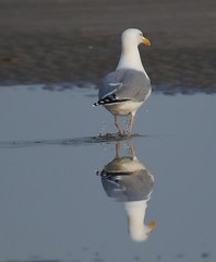 Dripping butt reflection (Jaedde & Sis) Tags: reflection drops seagull right behind gamewinner challengefactorywinner thechallengefactory fotocompetition fotobronze fotocompetitionbronze