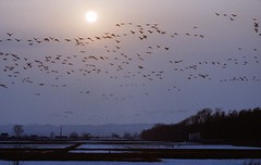 Flying back home (threepinner) Tags: bird canon evening geese pond iso400 t90 tokina negative   f40 atx 100300mm  stoeckler  alkalinepushing  tegatanuma