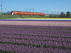 Kings train (Koningstrein) at Hillegom, May 4, 2013 (cklx) Tags: holland spring purple keukenhof paars voorjaar virm hillegom 9520 hyacinthen kingstrain koningstrein