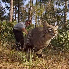 Bobcat Catch and Release Program (Animal Rangers) Tags: control florida wildlife bobcat nuisance trappers animalcontrol animalrangers bobcatremoval bobcattrapper