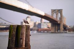 The seaside view (WindUpDucks) Tags: street nyc bridge newyork brooklyn pier manhattan seagull south dumbo 17 seaport