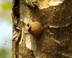 Potter wasp nest on Mitragyna parvifolia tree_MNP_Dec 2012 (Shubhada Nikharge) Tags: insect potterwasp