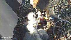 BR feeds young (Cornell Lab of Ornithology) Tags: red bird big university cams cornell redtailedhawk nestlings labofornithology cornelllabofornithology