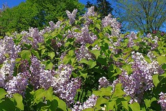 Central Experimental Farm Lilacs 003 (Chrisser) Tags: flowers ontario canada nature garden spring gardening ottawa fourseasons closeups lilacs syringa oleaceae centralexperimentalfarm canonefs1855mmf3556islens canoneosrebelt1i