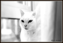 Snowy (Adam Halstead) Tags: white black face cat canon lens eos 50mm mood with snowy style portraiture f18 ef 1100d