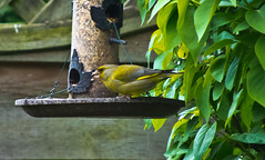 2013 05 19 Greenfinch-05 (Keith Laverack) Tags: greenfinch 1facebook 1flickr 1keithlaverack 1wilberfoss