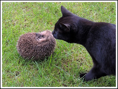 Hedgehog 26 & Cat (Magic Moments by Pippa) Tags: nature wildlife british mammals hedgehogs
