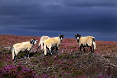 Residents' Meeting (markahoy) Tags: abbey purple sheep heather moors northyorkmoors rosedale moorland rosedaleabbey
