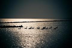swan... (Pawelus) Tags: sunrise landscape swan lapinski abd holandia apiski