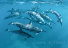 wildlife spinner dolphins ocean copy (*michael sweet*) Tags: ocean sea nature canon hawaii pod underwater dolphin wildlife maui spinner makean