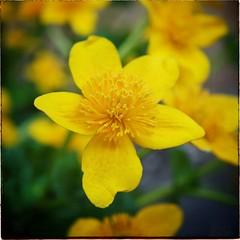 Water Buttercup (David S Wilson) Tags: uk flowers england flower home floral yellow garden spring ely fens flowersplants davidwilson 2013 davidswilson snapseed flickrandroidapp:filter=none
