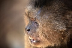 grit your teeth (peet-astn) Tags: bushbabiesmonkeysanctuary bushbabies monkeysanctuary smile eyes monkey capuchin animal outdoor grit teeth dof