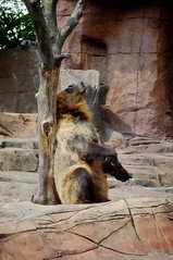 05.15.2016 (TheWeltyFamily) Tags: 2016 may theweltyfamily kodiak bear indianapoliszoo